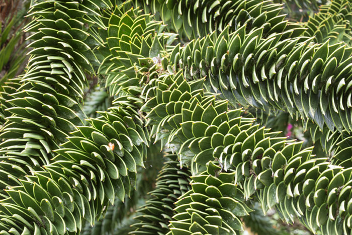 Arms of the Monkey Puzzle Tree.